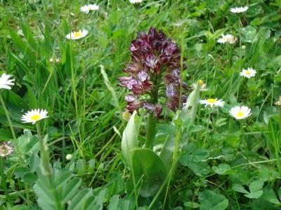 Orchid - earliest purple variety