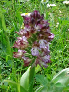 orchid, earliest purple variety