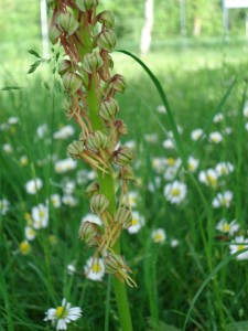 Man orchid/Orchis Homme pendu: Aceras athropophorum
