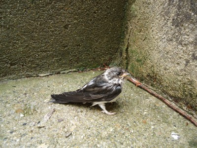This swallow was very wet and stayed on the step some time whilst it dried off, and then later, flew away.