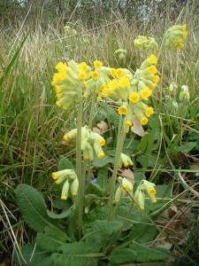 Fleurs sauvage; Wild flowers; Cowslips