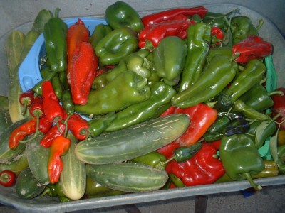 Homegrown peppers and cucumbers