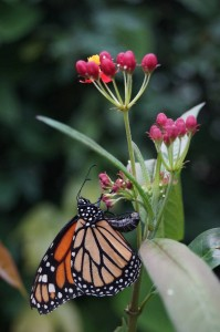 butterfly (5)