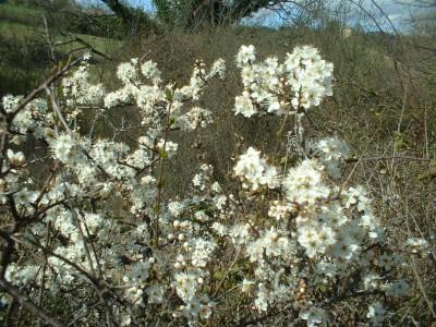 wild flowers fleurs (4)