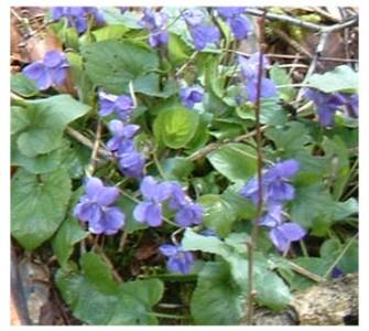 wild flowers fleurs (9)