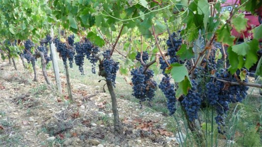 wine making grape (10)