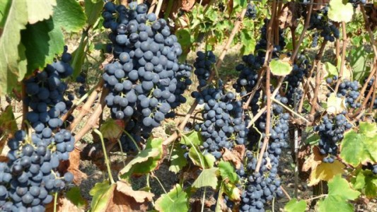 wine making grape (12)