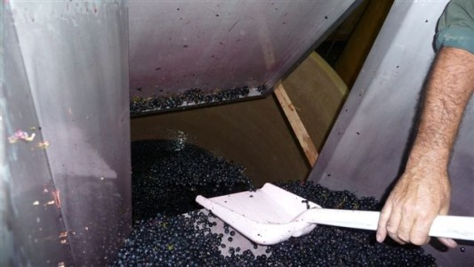 wine making grape (15)